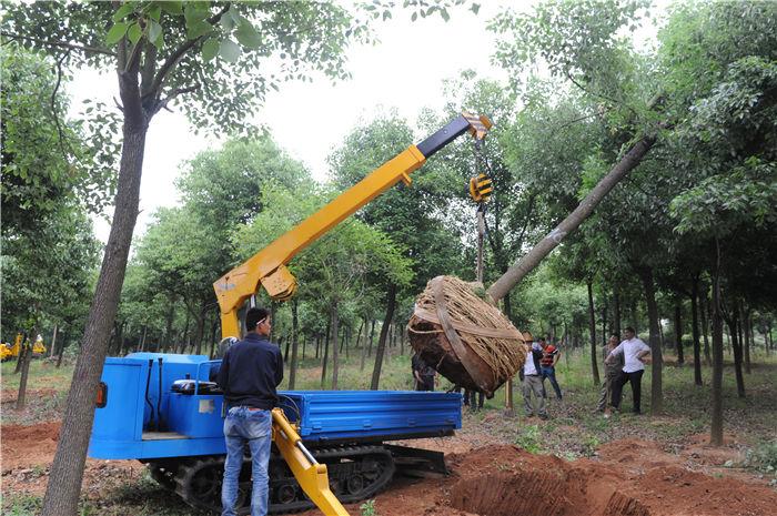 吊运机已将挖好的树木吊起