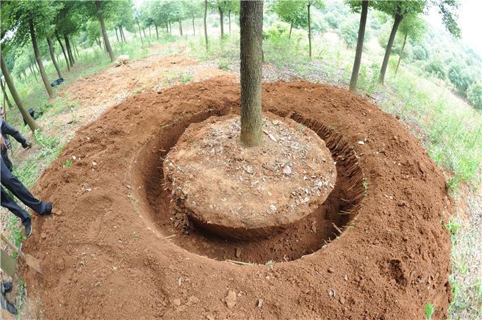挖树机挖好后的土球形状